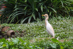 Cattle Egret Stock Images