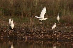 Cattle Egrets Stock Photos