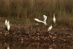 Cattle Egrets Stock Photography