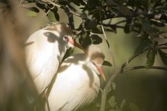 Cattle Egrets. Pair of Cattle Egrets at Mating Season (Bubulcus ibis royalty free stock image