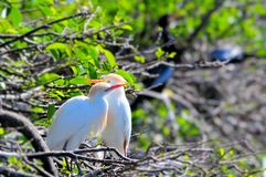 Cattle egrets (Bubulcus ibis) Royalty Free Stock Photo