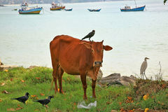 Cattle egrets, crows and cows relationships in SriLanka Stock Photos