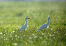 Cattle Egrets Stock Photo