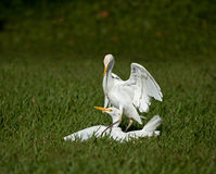 Cattle Egrets Fighting Royalty Free Stock Photography