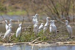 Cattle Egrets at Lake Baringo, Kenya Stock Photos