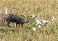 Cattle egrets and pig Royalty Free Stock Photo