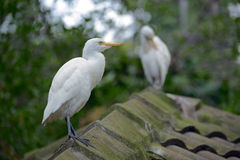 Cattle Egrets Stock Image