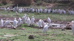 Cattle Egrets in wetlands in The Gambia.