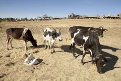 Cattle, Ethiopia Stock Photo