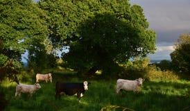 Cattle in the evening sun in Ireland stock photos