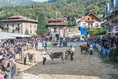 Cattle exhibition and contest at Brembana Valley, Serina,Bergamo,Lombardia Italy. Breeder and italian brown cow. Stock Photos