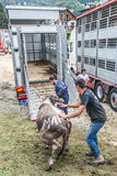 Cattle exhibition and contest at Brembana Valley, Serina,Bergamo,Lombardia Italy. Cows back to the farm. Stock Photography