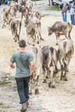 Cattle exhibition and contest at Brembana Valley, Serina,Bergamo,Lombardia Italy. Cows back to the farm. Stock Images