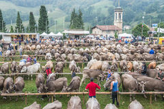 Cattle exhibition and contest at Brembana Valley, Serina,Bergamo,Lombardia Italy. Cows italian brown and Red spotted contest. Royalty Free Stock Image
