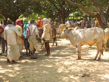 Cattle fair, Nepal Royalty Free Stock Image