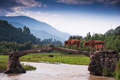 A cattle family acrossing bridge Royalty Free Stock Photo