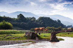 A cattle family and dog. A cattle family and a dog were acrossing the bridge. This scene appeared at Liangshan yi autonomous prefecture, sichuan province of Stock Photo