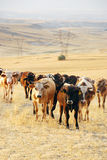 Cattle in the farm. Cattle drive in a farm during a sunny morning royalty free stock image