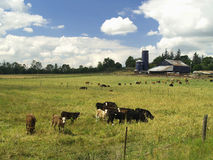 Cattle Farm. A cattle farm in summer under a cloudy blue sky stock photography