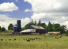 Cattle on the Farm. Cattle gather near the barn on a cattle farm in summer stock images