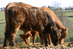 Cattle On A Farm stock image