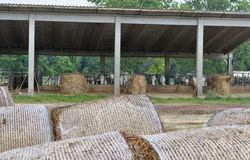 Cattle farm with cows munching hay Stock Photography