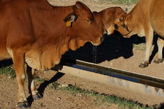 Cattle on a farm. Drink water from a trough Stock Image