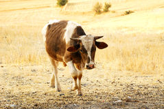 Cattle in the farm Stock Image