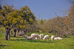 Cattle on farm in france Royalty Free Stock Photo