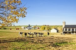 Cattle Farm Near Akron Pennsylvania Stock Photography