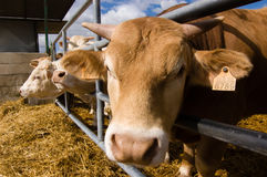 Cattle in the farm Royalty Free Stock Image