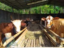 cattle on the farm are ready to be slaughtered for Eid al-Adha