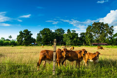 Cattle in farm Royalty Free Stock Photography