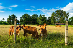 Cattle in farm Royalty Free Stock Photos