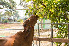 Cattle farm Stock Photography