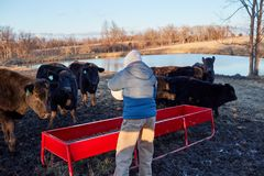 Cattle farmer feeding his livestock dried feed. Emptying a plastic bucket into a trough as the animals standing waiting in a winter landscape Royalty Free Stock Photography