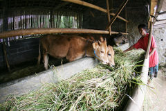 Cattle. Farmers feed cattle with grass in Karanganyar, Central Java, Indonesia Stock Photos
