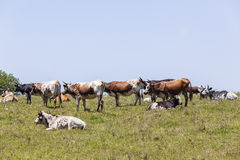 Cattle Farming Stock Photo