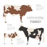 Cattle farming infographic template. Cow, bull, calf family.  Stock Photography
