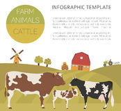 Cattle farming infographic template. Cow, bull, calf family Royalty Free Stock Photos
