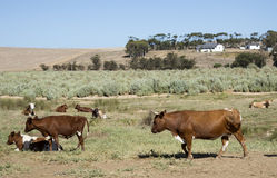 Cattle farming in the Overberg region South Africa Stock Photography