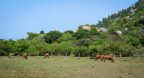 Cattle Farming in Phan Rang, Vietnam Royalty Free Stock Photography