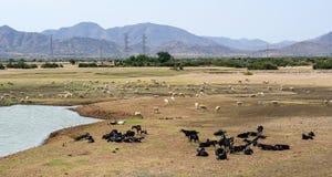 Cattle Farming in Phan Rang, Vietnam Stock Photo
