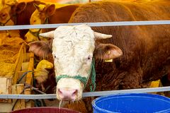 Cattle are fed on an animal market Stock Images
