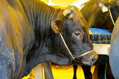 Cattle are fed on livestock market Royalty Free Stock Photo