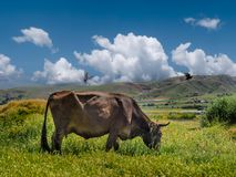 Cattle fed in natural green grass. cows and nature landscape in spring.  stock image