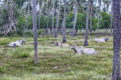 The cattle fed tropical pasture. In Coconut plantation Royalty Free Stock Images