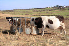 Cattle feed. Irish cattle feed on the silage from a round feeder in kerry ireland Stock Photos