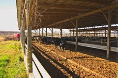 Cattle Feed Lot Near Courtland, Virginia. Cattle lot with conveyor lines from silos delivering the feed Stock Photo