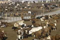 Cattle feed lots Stock Photography